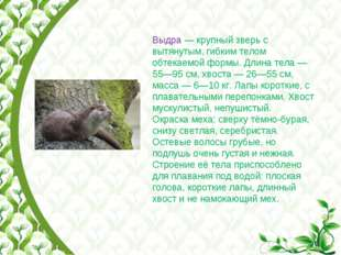 Выдра— крупный зверь с вытянутым, гибким телом обтекаемой формы. Длина тела