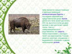 Зубр является самым тяжёлым и крупным наземным млекопитающим Европы и последн