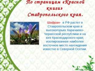 По страницам «Красной книги» Ставропольского края. Шафран- в РФ растет в Ста