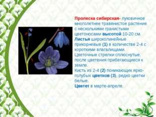 Пролеска сибирская- луковичное многолетнее травянистое растение с несколькими