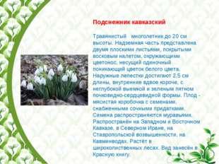 Подснежник кавказский Травянистый многолетник до 20 см высоты. Надземная част