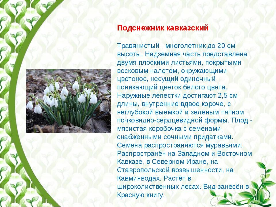 Подснежник кавказский Травянистый многолетник до 20 см высоты. Надземная част...