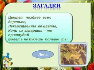 Цветет позднее всех деревьев, Лекарственны ее цветы, Коль их заваришь - то пр