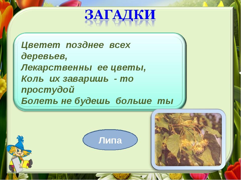 Цветет позднее всех деревьев, Лекарственны ее цветы, Коль их заваришь - то пр...