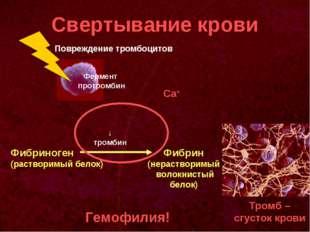 Свертывание крови Фермент протромбин Фибриноген (растворимый белок) Фибрин (н