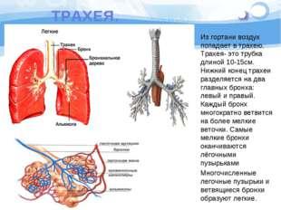 ТРАХЕЯ. Из гортани воздух попадает в трахею. Трахея- это трубка длиной 10-15с