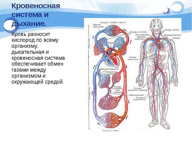 Кровеносная система и дыхание. Кровь разносит кислород по всему организму. ды...