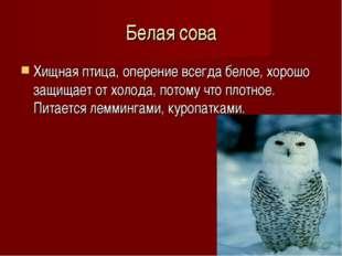 Белая сова Хищная птица, оперение всегда белое, хорошо защищает от холода, потом