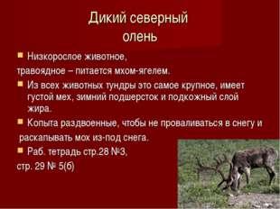 Дикий северный олень Низкорослое животное, травоядное – питается мхом-ягелем. Из