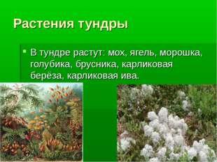 Растения тундры В тундре растут: мох, ягель, морошка, голубика, брусника, карлик