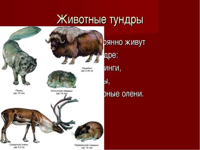 Животные тундры Постоянно живут в тундре: лемминги, песцы, северные олени.