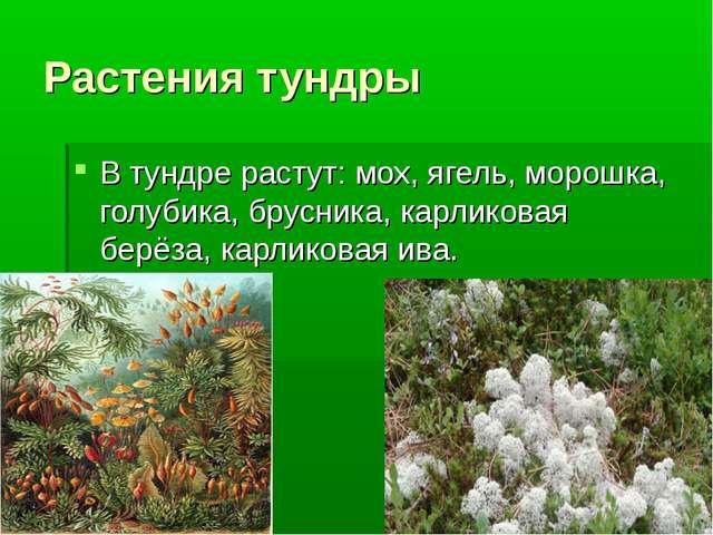 Растения тундры В тундре растут: мох, ягель, морошка, голубика, брусника, кар...
