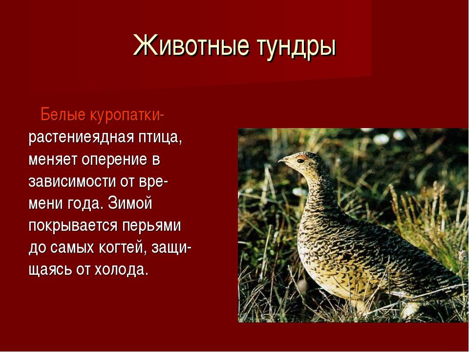 Животные тундры Белые куропатки- растениеядная птица, меняет оперение в завис...