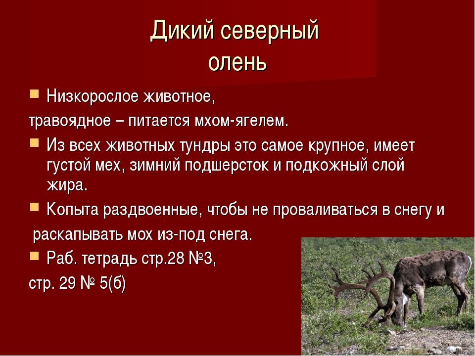 Дикий северный олень Низкорослое животное, травоядное – питается мхом-ягелем....