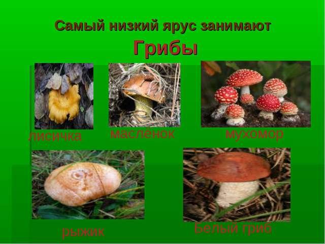 Самый низкий ярус занимают Грибы лисичка маслёнок мухомор рыжик Белый гриб
