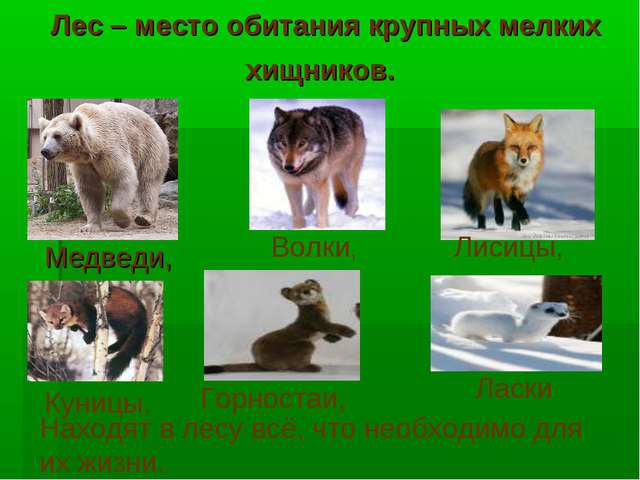 Лес – место обитания крупных мелких хищников. Волки, Лисицы, Куницы, Горноста...