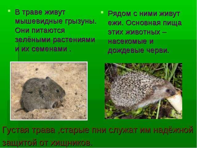 В траве живут мышевидные грызуны. Они питаются зелёными растениями и их семен...