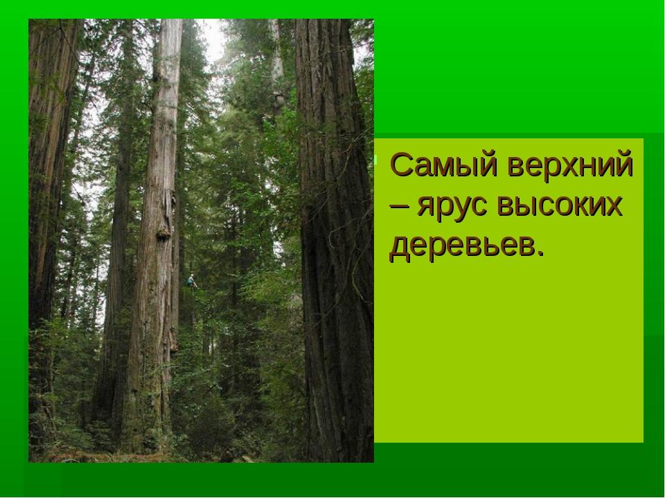 Самый верхний – ярус высоких деревьев.