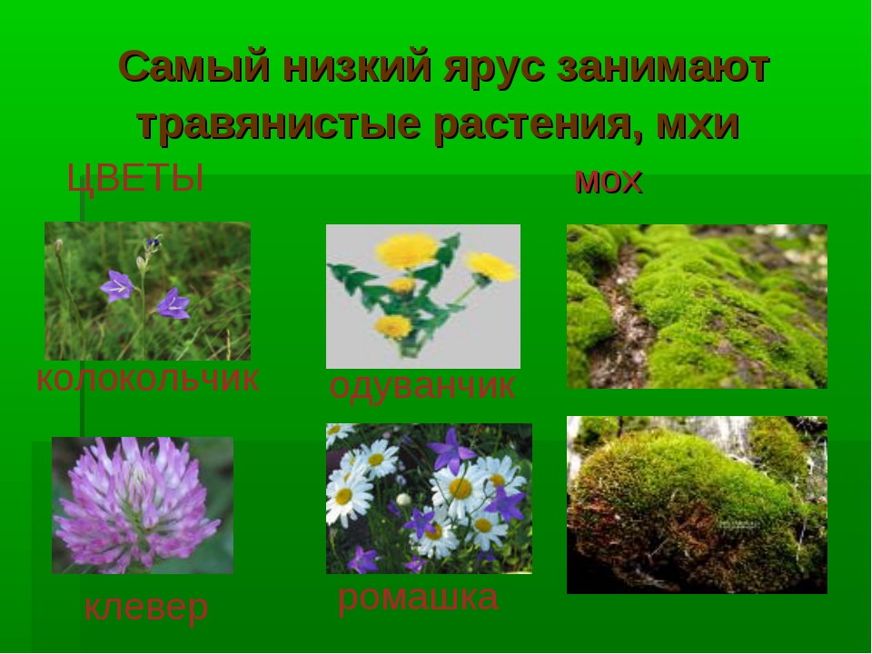 Самый низкий ярус занимают травянистые растения, мхи мох ЦВЕТЫ колокольчик од...