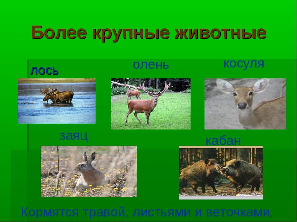 Более крупные животные лось олень косуля заяц кабан Кормятся травой, листьями...