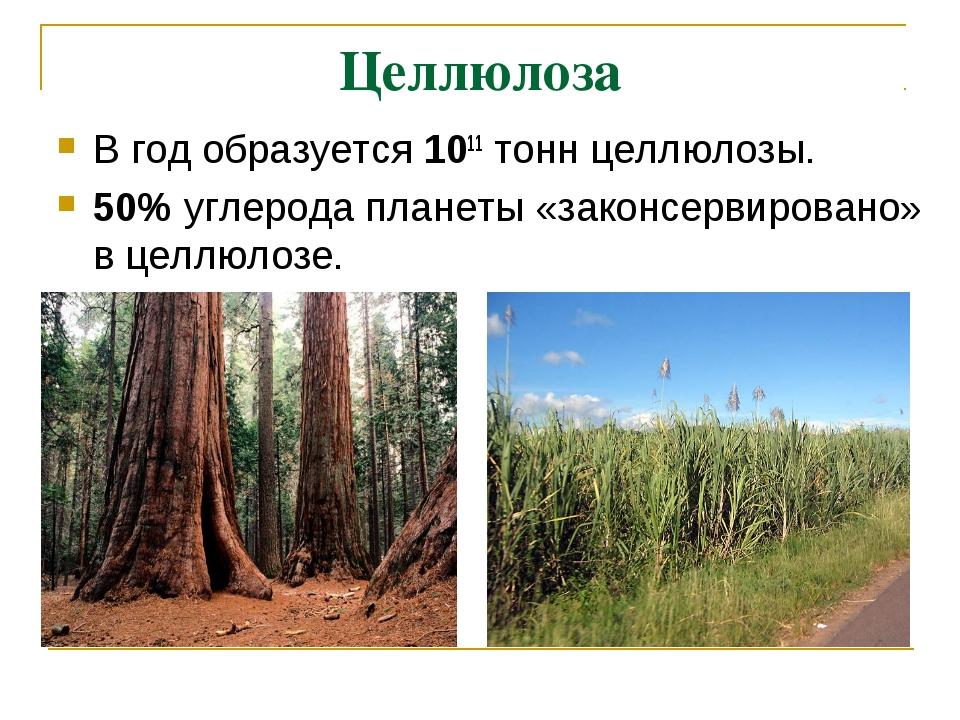 Целлюлоза В год образуется 1011 тонн целлюлозы. 50% углерода планеты «законс...