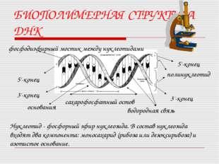 БИОПОЛИМЕРНАЯ СТРУКТУРА ДНК фосфодиэфирный мостик между нуклеотидами основани