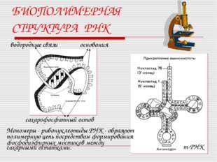 БИОПОЛИМЕРНАЯ СТРУКТУРА РНК водородные связи сахарофосфатный остов основания