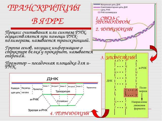 ТРАНСКРИПЦИЯ В ЯДРЕ Процесс считывания или синтеза РНК, осуществляется при по...