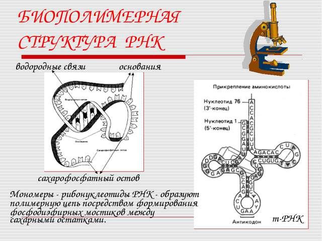 БИОПОЛИМЕРНАЯ СТРУКТУРА РНК водородные связи сахарофосфатный остов основания...