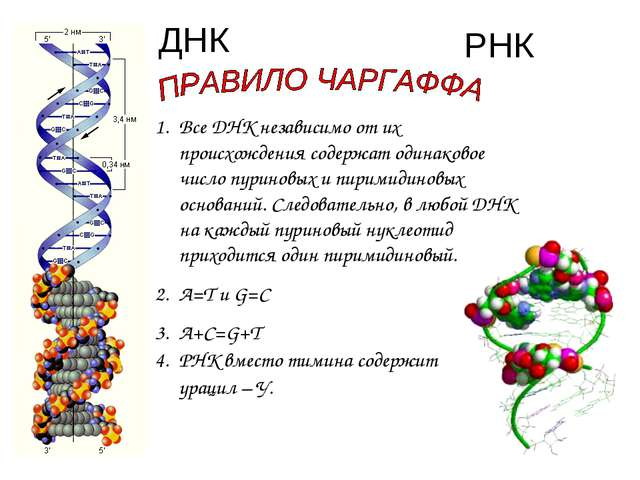 ДНК РНК Все ДНК независимо от их происхождения содержат одинаковое число пури...