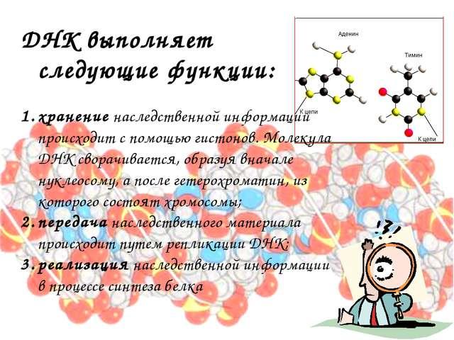 ДНК выполняет следующие функции: хранение наследственной информации происходи...