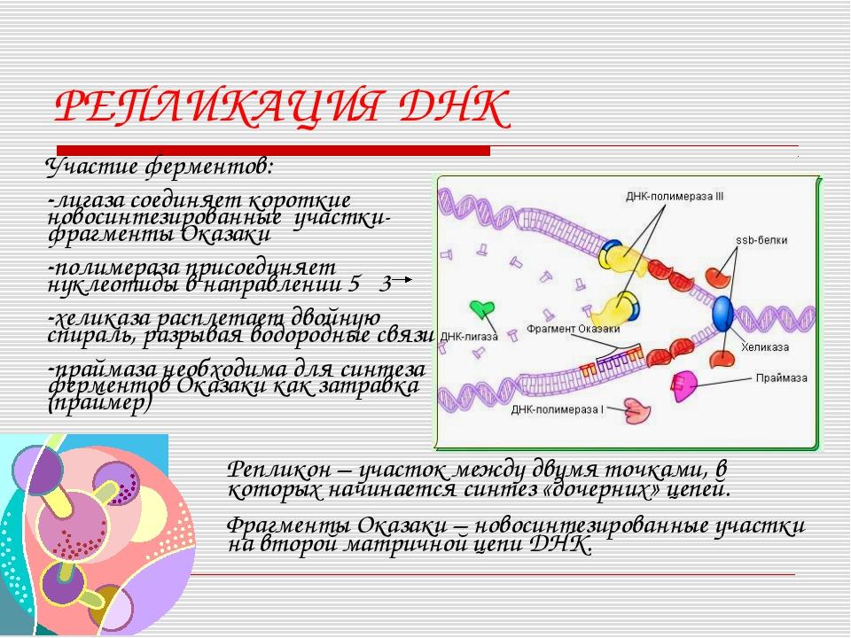 РЕПЛИКАЦИЯ ДНК Участие ферментов: лигаза соединяет короткие новосинтезированн...