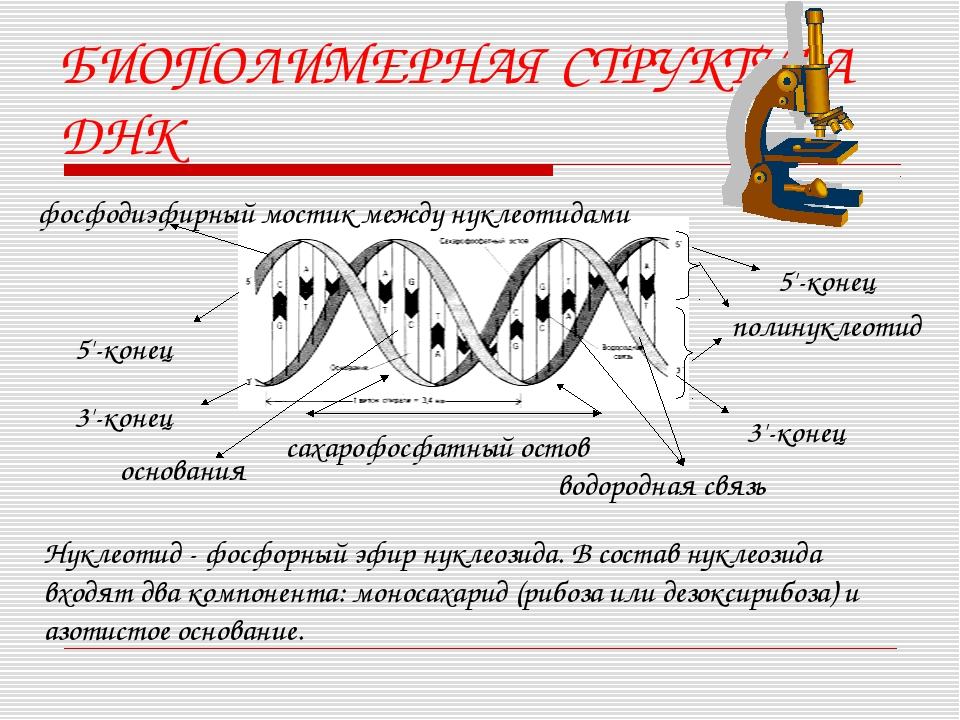 БИОПОЛИМЕРНАЯ СТРУКТУРА ДНК фосфодиэфирный мостик между нуклеотидами основани...