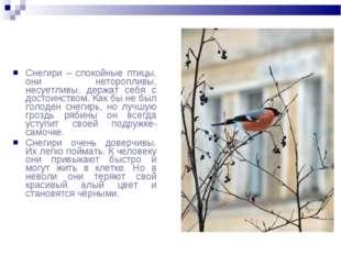 Снегири – спокойные птицы, они неторопливы, несуетливы, держат себя с достоин