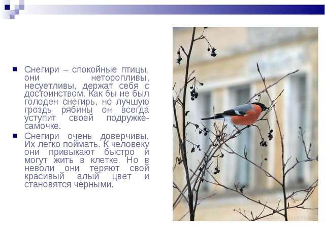 Снегири – спокойные птицы, они неторопливы, несуетливы, держат себя с достоин...