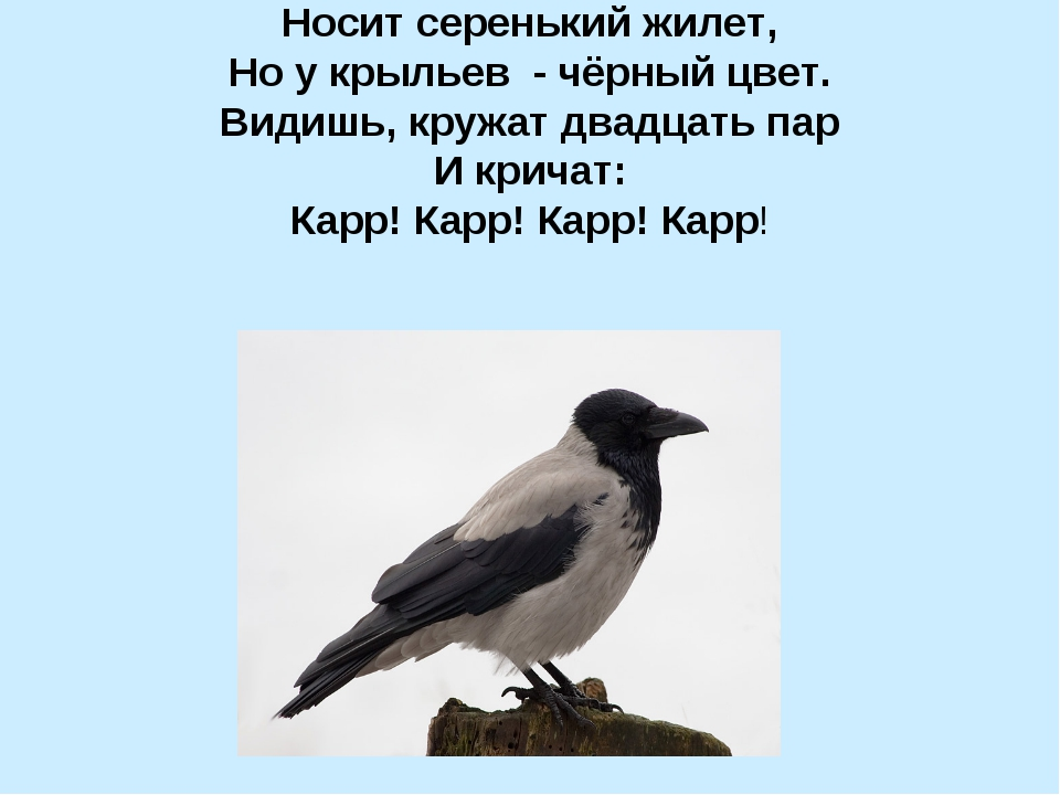 Носит серенький жилет, Но у крыльев - чёрный цвет. Видишь, кружат двадцать па...