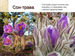 Сон-трава Сон-траву кладут на ночь под подушку, и следующие сны считают проро