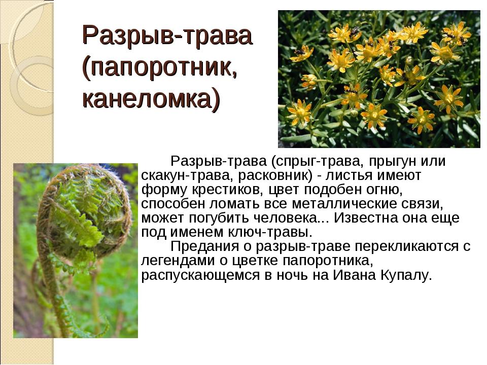 Разрыв-трава (папоротник, канеломка) Разрыв-трава (спрыг-трава, прыгун или...