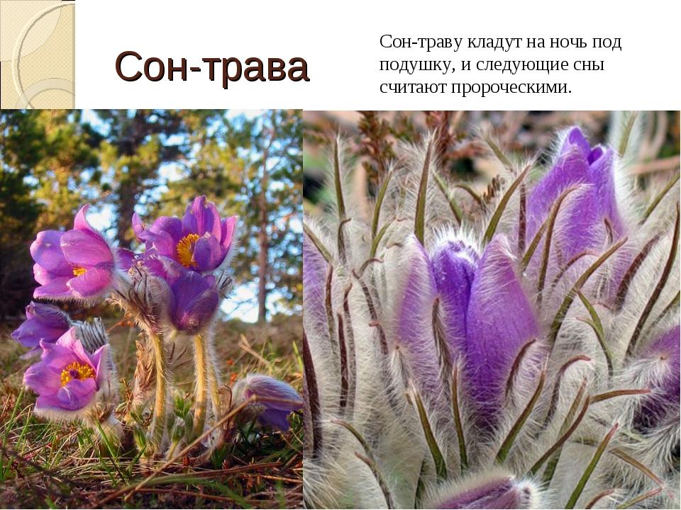 Сон-трава Сон-траву кладут на ночь под подушку, и следующие сны считают проро...