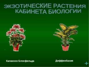 Каланхоэ Блосфельда Диффенбахия