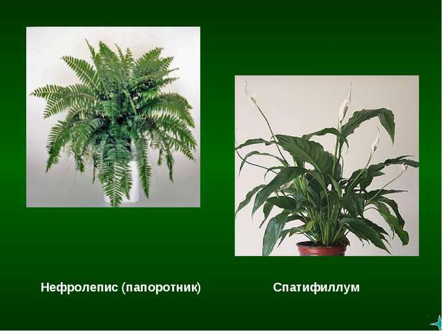Спатифиллум Нефролепис (папоротник)