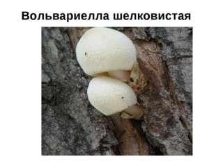 Вольвариелла шелковистая