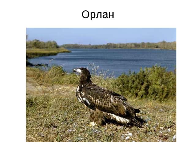 Орлан