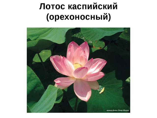 Лотос каспийский (орехоносный)