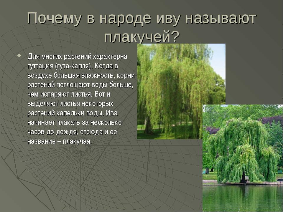Почему в народе иву называют плакучей? Для многих растений характерна гуттаци...