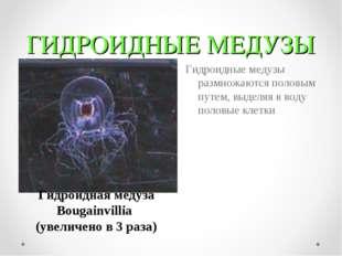 ГИДРОИДНЫЕ МЕДУЗЫ Гидроидные медузы размножаются половым путем, выделяя в вод