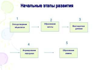 Начальные этапы развития Оплодотворение яйцеклетки Образование семени Формиро