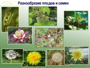 Разнообразие плодов и семян