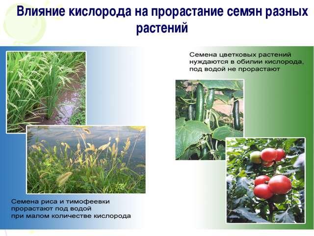 Влияние кислорода на прорастание семян разных растений