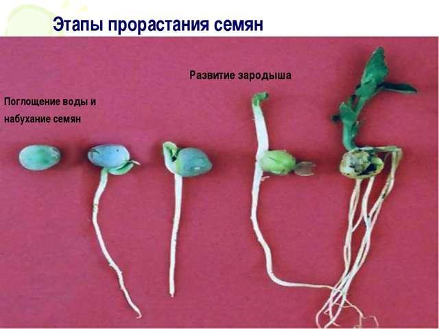 Этапы прорастания семян Поглощение воды и набухание семян Развитие зародыша